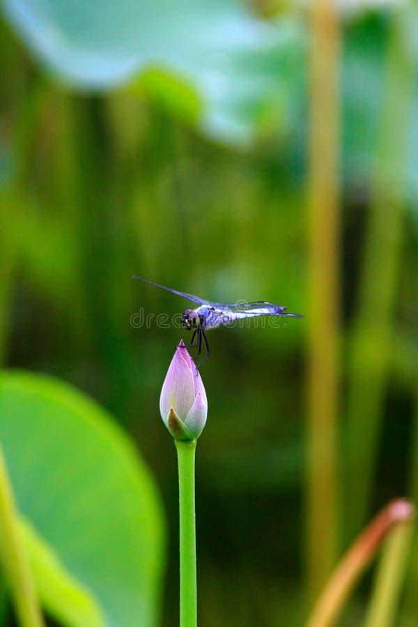 Une libellule bleue sur le bourgeon photo libre de droits