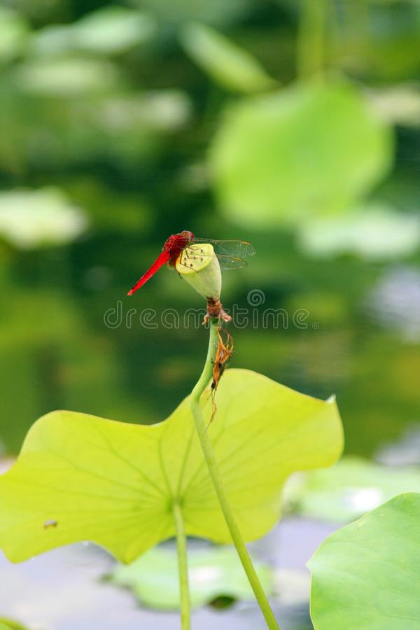 Une libellule dans l'étang de lotus image libre de droits