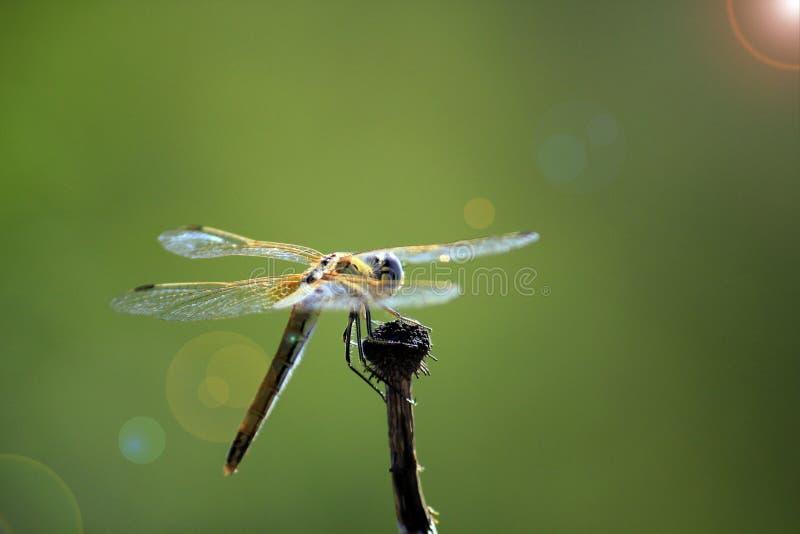 Une libellule prête à voler image stock