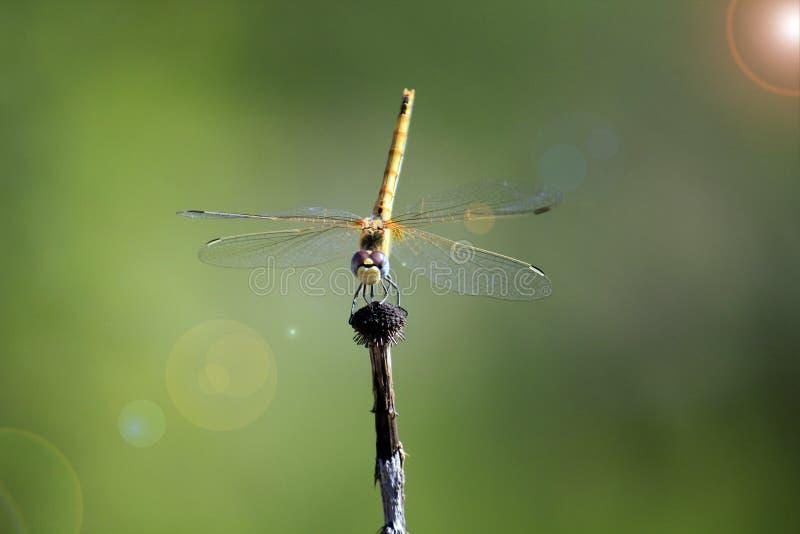 Une libellule prête à voler photographie stock libre de droits