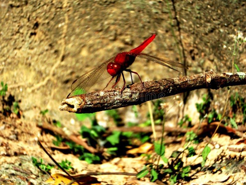 Une libellule rouge image libre de droits