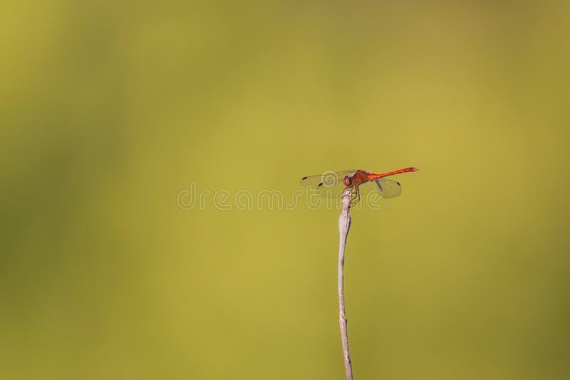 Une libellule rouge de meadowlark était perché sur un bâton photographie stock