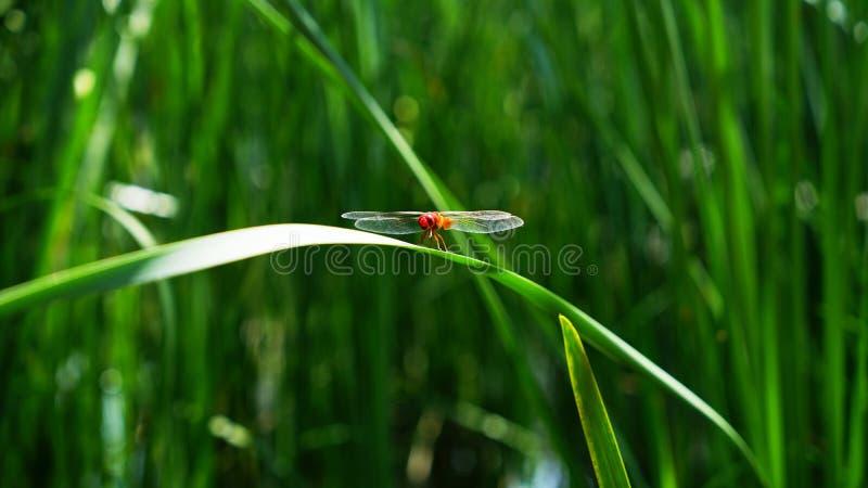 Une libellule rouge se tient sur une feuille d'herbe photo libre de droits