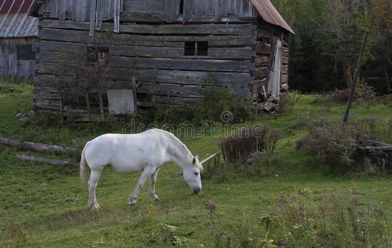 Une licorne mythique frôle dans un domaine herbeux près d'une grange dans le Canada photo libre de droits