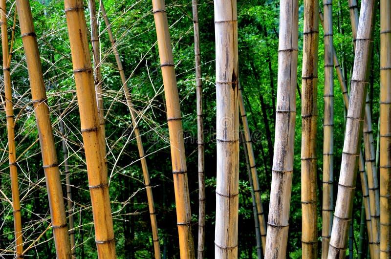 Une ligne des bambous défraîchis image stock