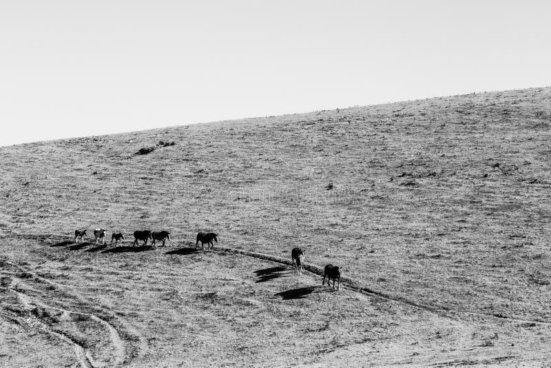 Une ligne des chevaux marchant du côté d'une montagne dans un sec, chaude photographie stock libre de droits