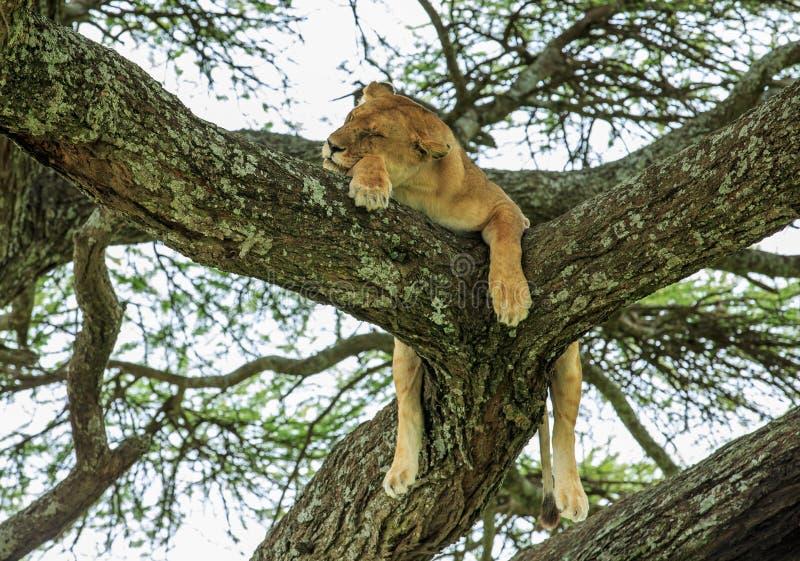 Une lionne africaine se reposant sur un arbre d'acacia images stock
