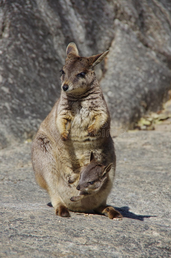 Une mère et un enfant des wallabies de roche photographie stock