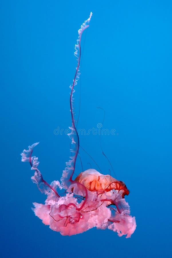Une méduse montre un affichage coloré dans son aquarium images stock