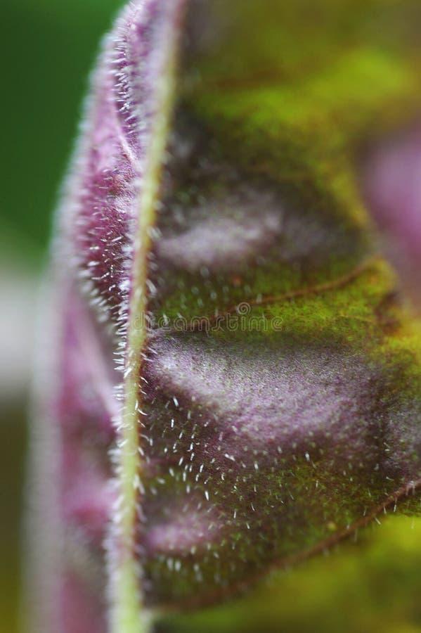 Une macro vue d'une feuille turque de plantain photo stock