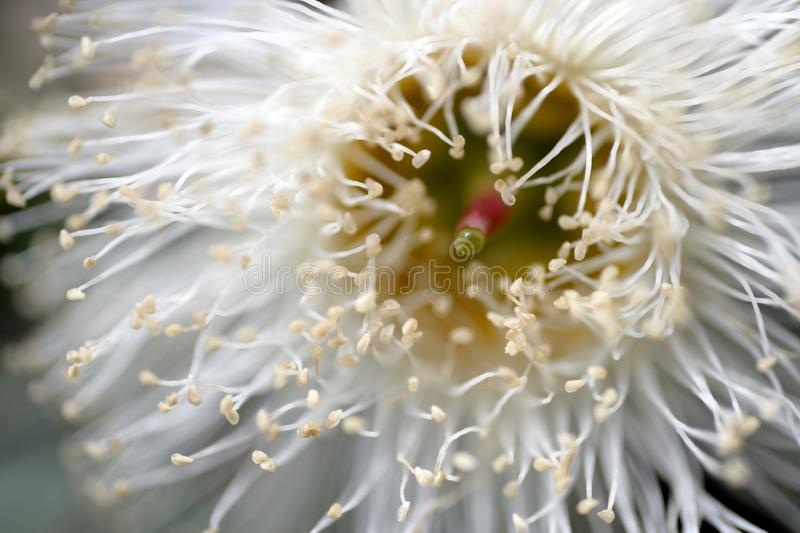 Une macro vue d'une fleur d'eucalyptus photographie stock