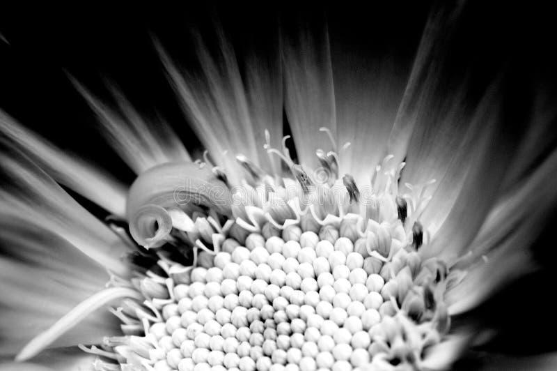 Une macro vue des officinalis d'un Calendula en noir et blanc photos stock
