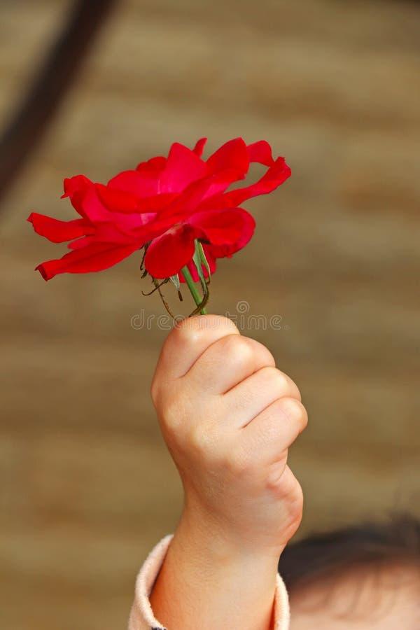 Une main de petite fille tient une rose rouge images libres de droits