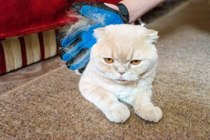 Une main du ` s d'homme dans le gant bleu en caoutchouc de toilettage peigne l'Écossais pelucheux images stock