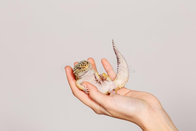 Une main femelle tient un gecko de léopard sur un fond blanc image libre de droits