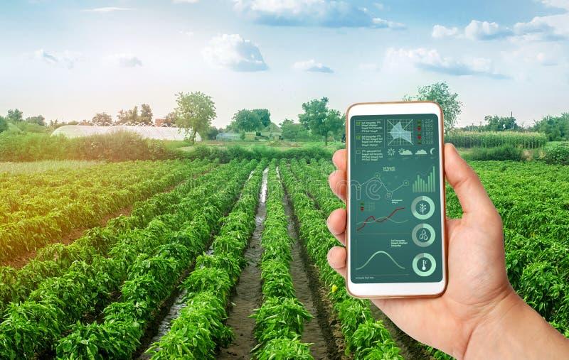 Une main tient un smartphone avec l'infographics sur le fond des plantations du paprika bulgare doux affermage photographie stock libre de droits