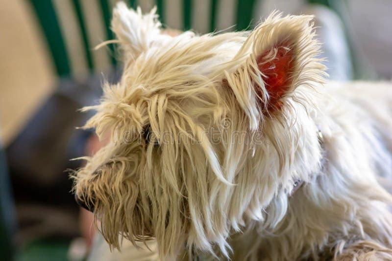 Une marche maltaise petite race de chien aux cheveux blancs, grande pour la société images libres de droits