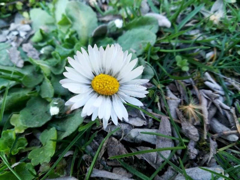 Une marguerite simple chronomètrent au printemps photo libre de droits