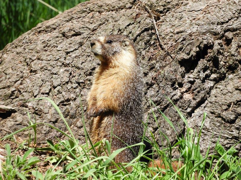 Une marmotte jaune-gonflée en parc national de séquoia image stock