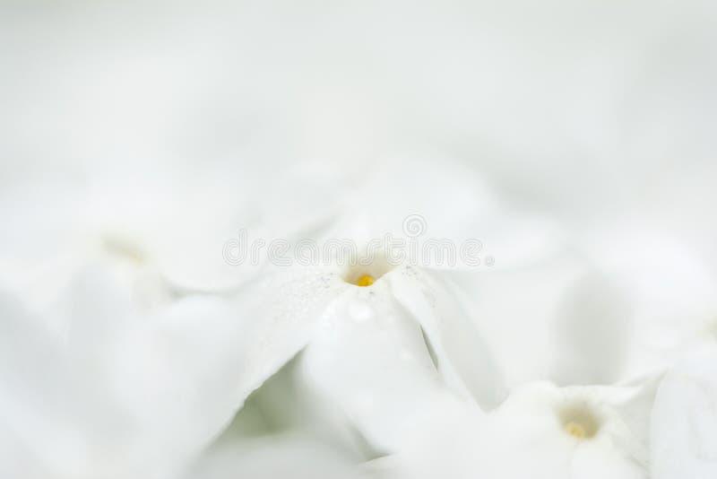 Une mer des fleurs blanches photos libres de droits