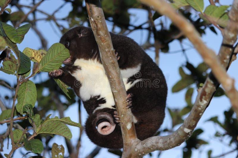 Une montagne Cuscus mangeant des feuilles dans un arbre de goyave image libre de droits