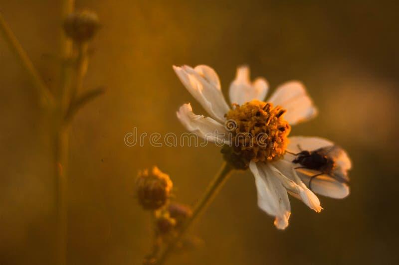 Une mouche en fleur image libre de droits