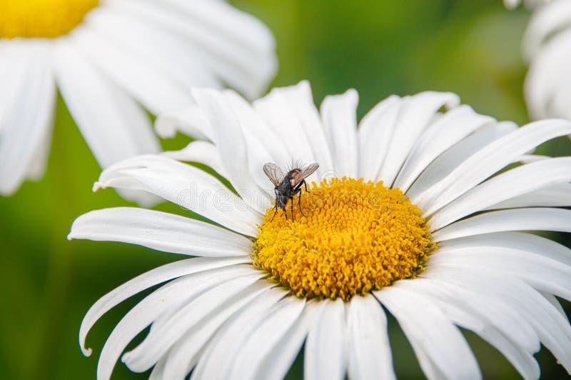 Une mouche velue se repose sur les inflorescences blanches de l'usine de camomille Plan rapproch?, l'espace de copie images stock