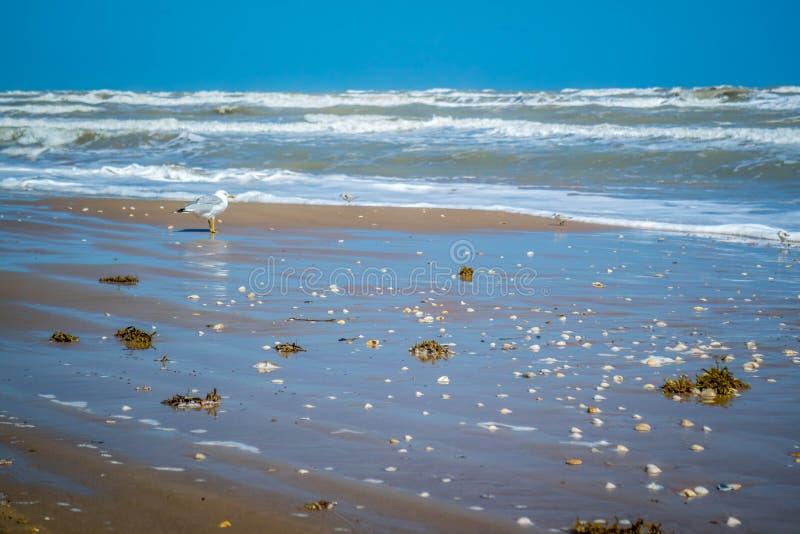 Une mouette Anneau-affichée flânant autour en île du sud d'aumônier, le Texas photo libre de droits