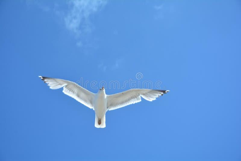 Une mouette avec le ciel beaucoup bleu image stock