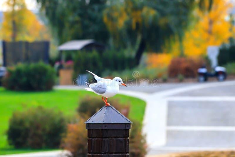 Une mouette blanche de grande rivière se repose sur un poteau en bois dans la perspective d'un parc d'automne avec les arbres jau images stock