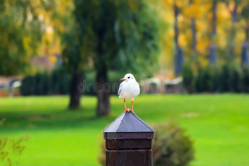 Une mouette blanche de grande rivière se repose sur un poteau en bois en parc d'automne avec les arbres jaunes photo stock