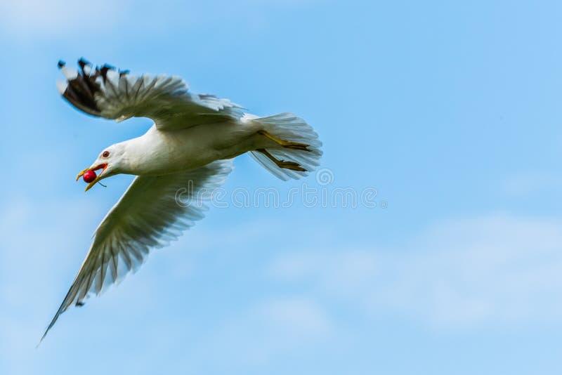 Une mouette obtient une cerise en vol d'un cerisier images libres de droits