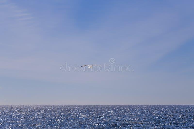 Une mouette solitaire glissant sur la brise marine photos stock