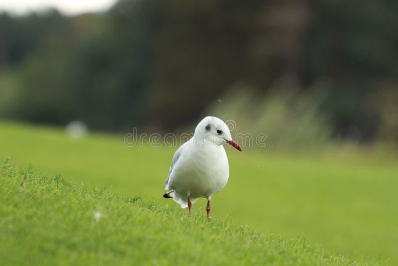 Une mouette sur une herbe image stock