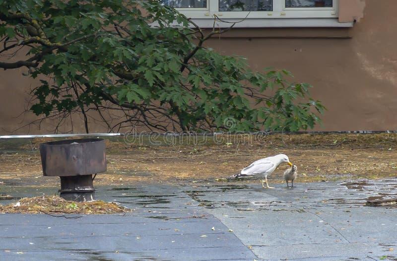 Une mouette sur le toit alimente son poussin images stock