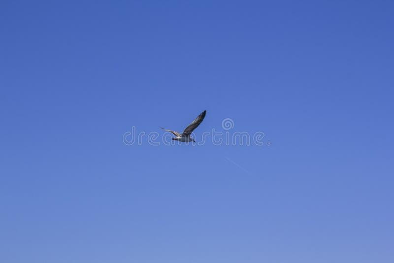 Une mouette sur un ciel bleu clair et la traînée d'un avion volant minimalisme Vol d'oiseau photos libres de droits