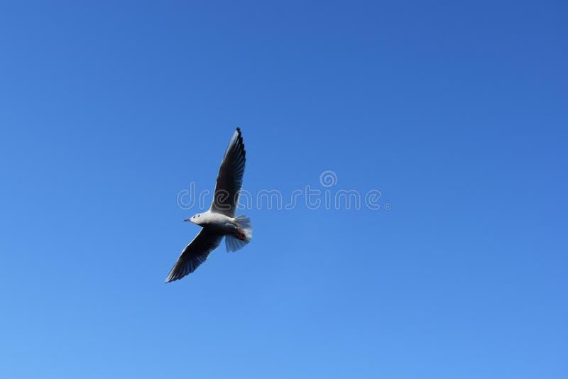 Une mouette vole dans le ciel bleu image stock