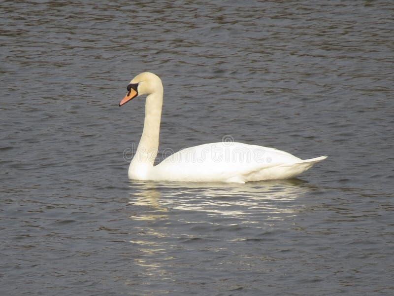 Une natation blanche de cygne en rivière photographie stock libre de droits