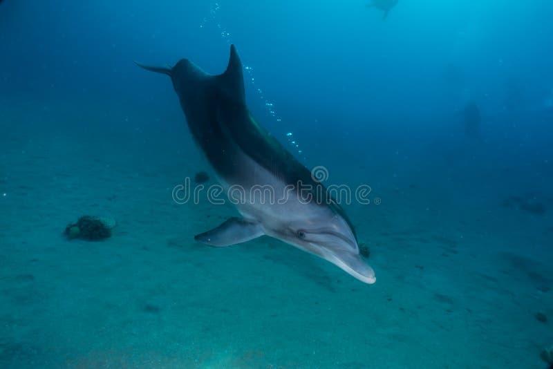 Une natation de dauphin avec des plongeurs en Mer Rouge, Eilat Israël image libre de droits