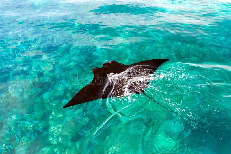 Une natation noire de pastenague dans un océan photo stock