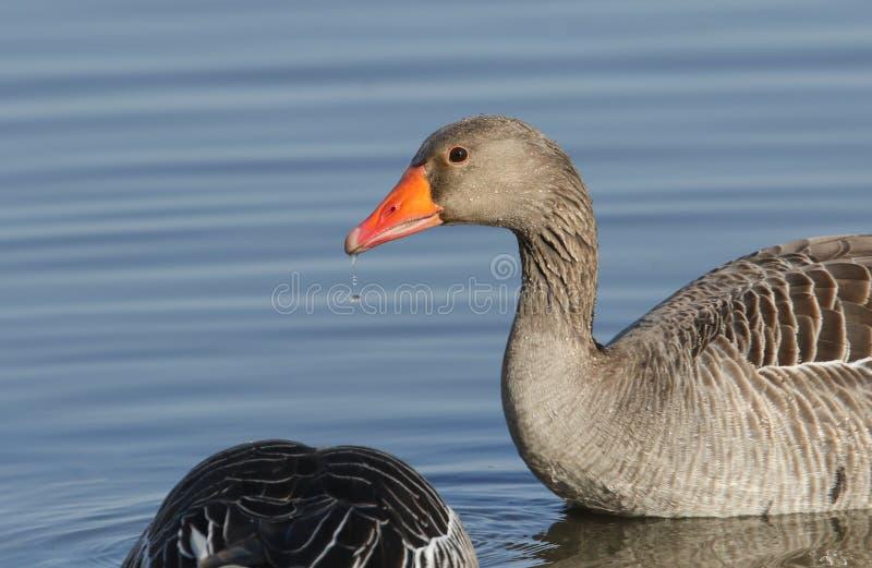 Une natation renversante d'anser d'Anser d'oie cendrée et alimentation sur un lac Une gouttelette d'eau chute de son bec photo stock