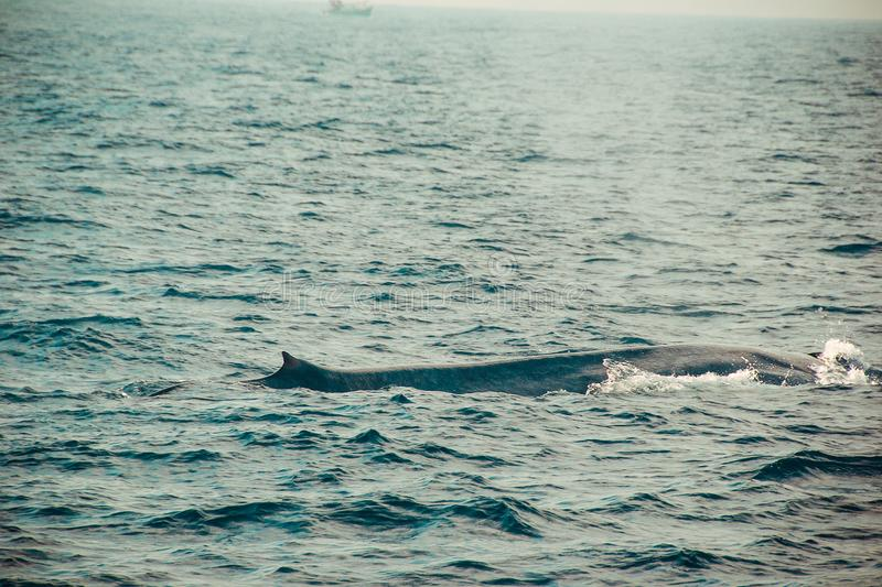 Une natation sauvage de baleine bleue dans l'Océan Indien Fond de nature de faune L'espace pour le texte Tourisme d'aventure Visi photo libre de droits