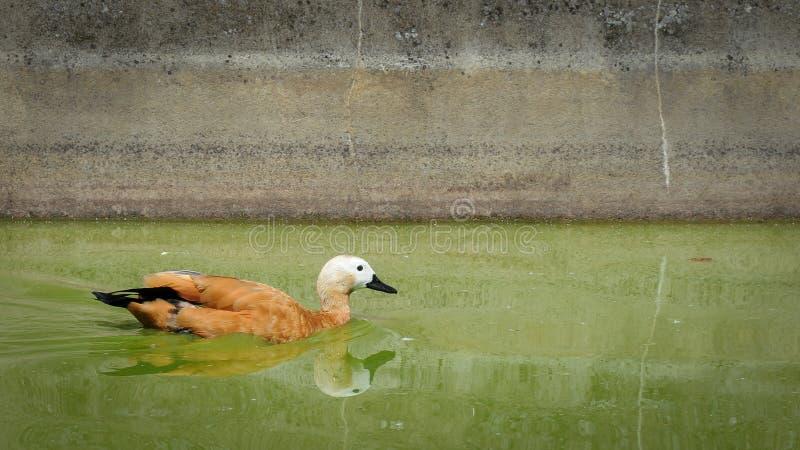 Une natation vermeille de tadorne dans un étang photographie stock libre de droits