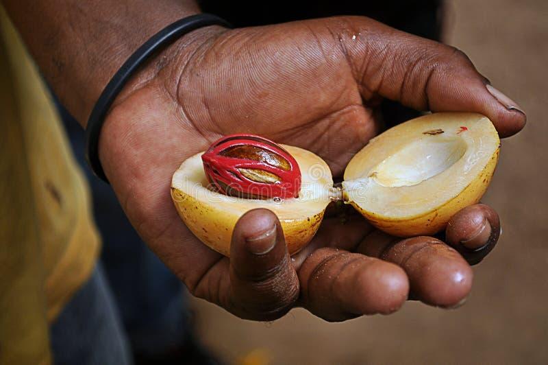 Une noix de muscade dans une main d'un homme de Zanzibar image stock