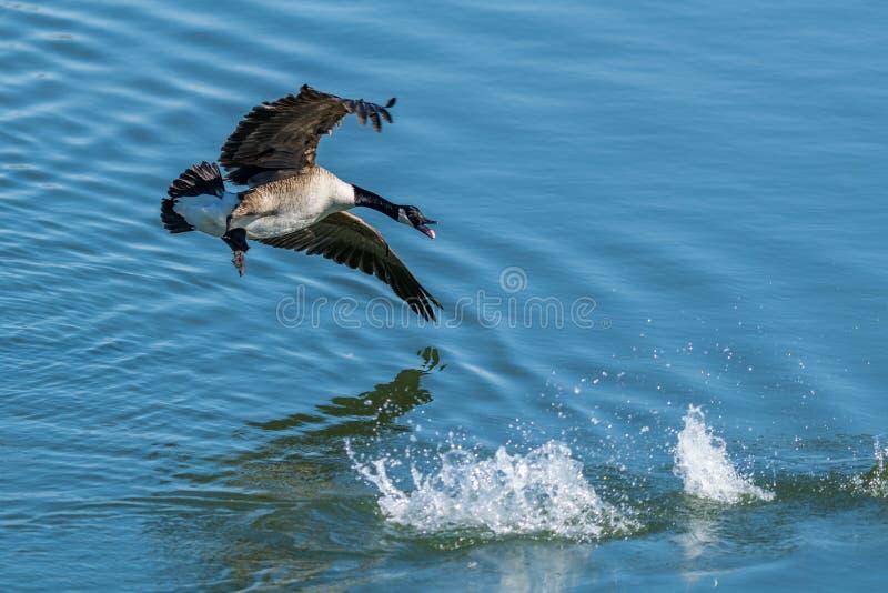Une oie canadienne swooping vers le bas dans l'eau photographie stock