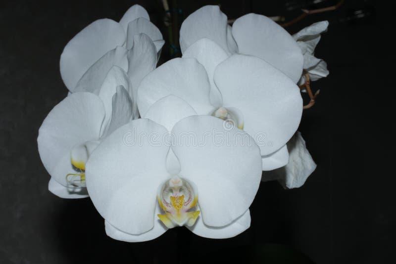 Une orchidée blanche à un arrière-plan noir photographie stock