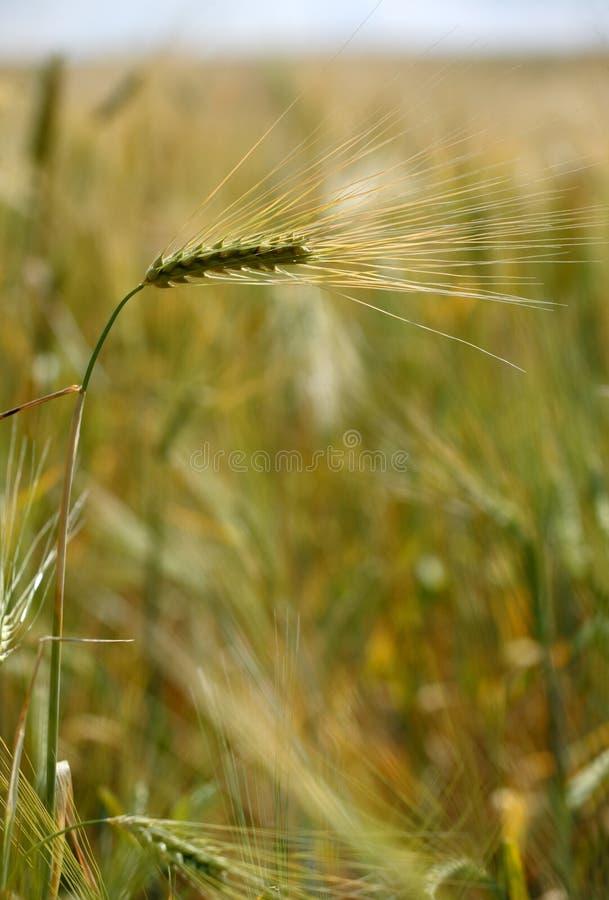 Une oreille de blé photos stock