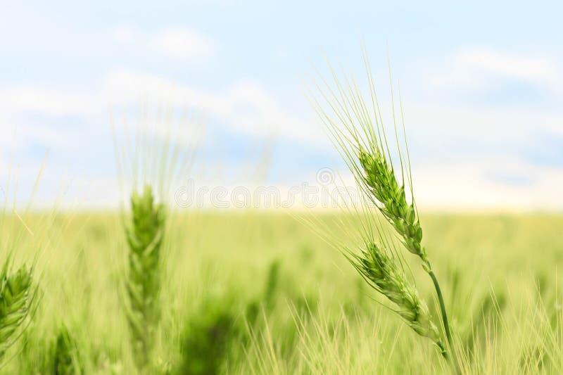 Une oreille ou un plan rapproché tendre de transitoire de jeune champ de blé vert frais, un paysage avec le foyer sélectif photo stock