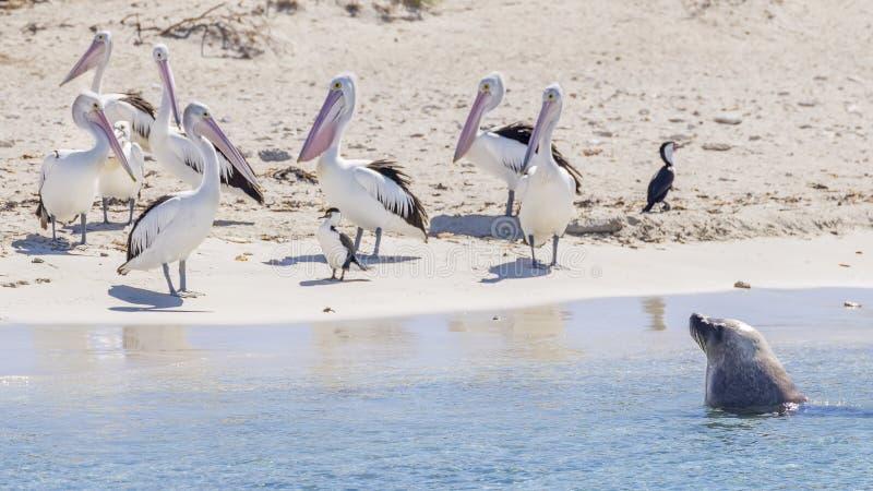 Une otarie et un groupe de p?licans sur la plage sablonneuse de l'?le de pingouin, Rockingham, Australie occidentale photographie stock