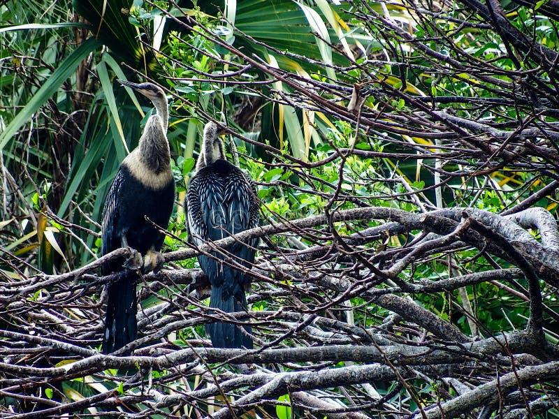 Une paire d'Anhingas femaile adultes roosting au-dessus d'un marais tropical images stock